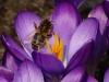 NABU bittet Naturfreunde jetzt Blumenzwiebeln zu pflanzen